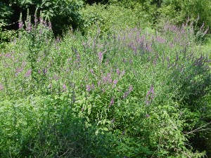 purple loosestrife stand